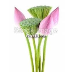Květ leknínu